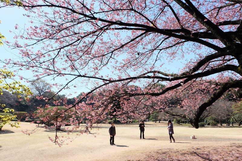 Tokio podwórka Sakura kwitnienie zdjęcia royalty free