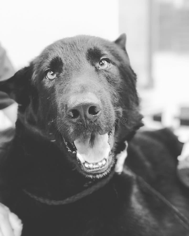 HAY, GIRL, HAAAAY!. Tokko, the best black German Shepherd I've ever met in my entire LIFE stock images