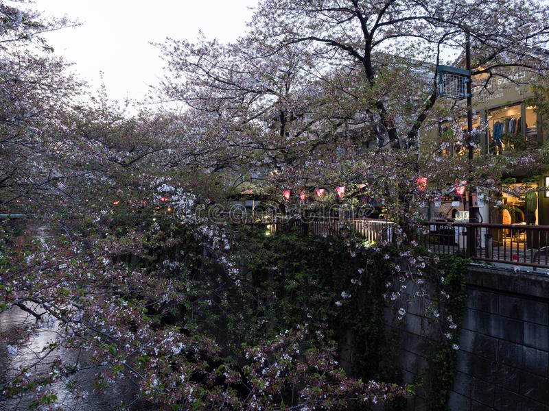 Last cherry blossoms of the season on Meguro river, a popular sakura viewing spot in Tokyo. Tokyo, Japan - April 2, 2018: Last cherry blossoms of the season on royalty free stock image