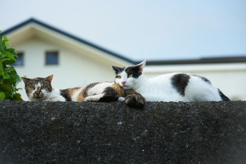 Two stray or alley cats at rest on a concrete wall in the afternoon. Tokyo,Japan-August 13, 2019: Two stray or alley cats at rest on a concrete wall in the stock photos
