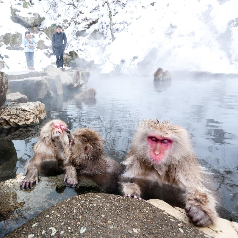 Tokyo, Japan - January 2, 2010: Tourists taking photo of Snow monkeys in Jigokudani Monkey Park in Japan. Japanese macaque sitting in a hot spring royalty free stock photo