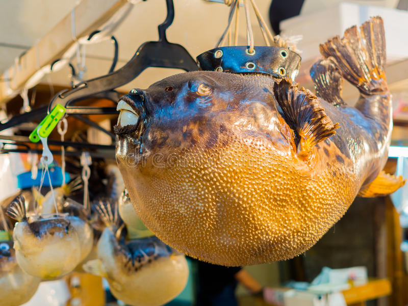 TOKYO, JAPAN JUNE 28 - 2017: Close up of a dry blowfish hanging in a Tsukiji Market, is the biggest wholesale fish and. Seafood market in the world, in Tokyo royalty free stock images