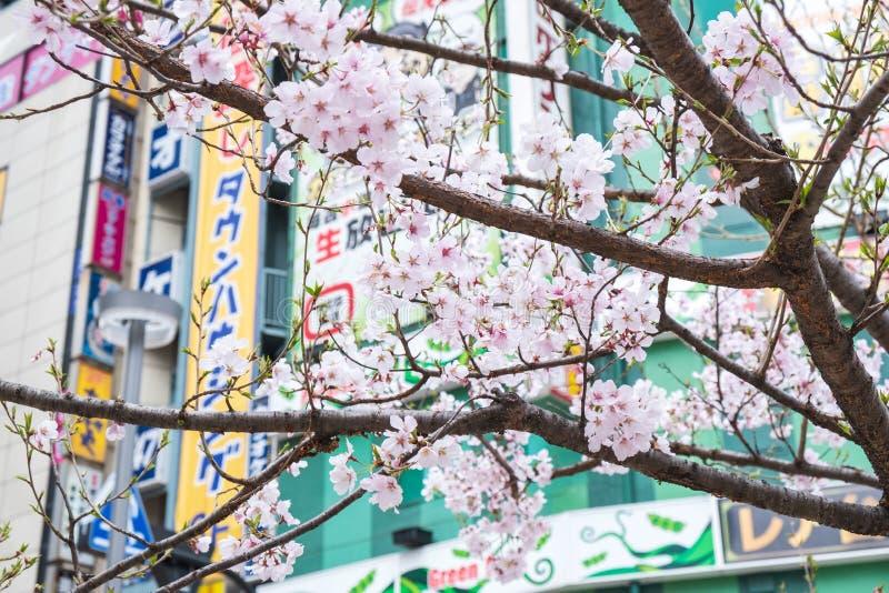 Tokyo, Japan - Maart 22, 2019: Het Weergeven van roze kersenbloesem of Sakura vertakt zich in lentetijd bij de straat van Shinjuk stock afbeelding