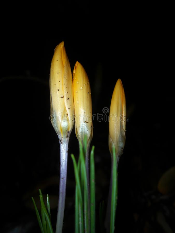 Buds of Crocus on black background after the rain royalty free stock photo