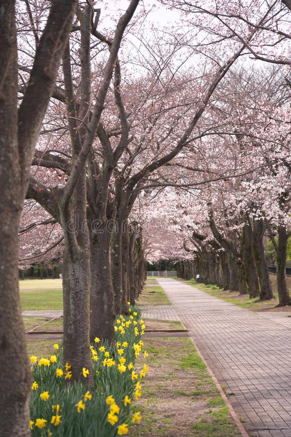 Cherry blossoms and narcissus in a park in Tokyo, Japan. Tokyo,Japan-March 28, 2019: Cherry blossoms and narcissus in a park in Tokyo, Japan stock photos