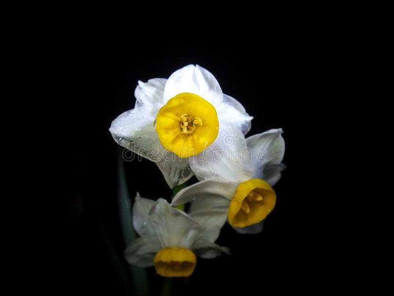 Narcissus or daffodil on black background after the rain royalty free stock photography