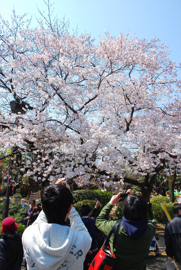 Sakura cherry blossoms at ueno park stock images