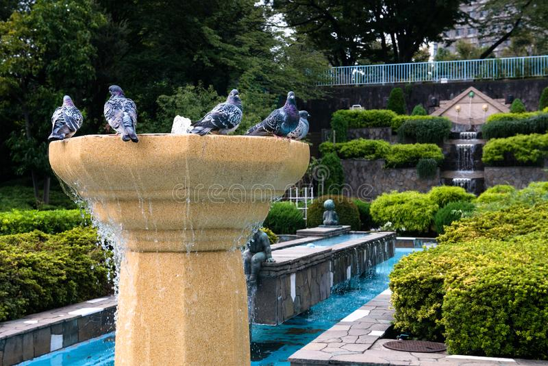 Pigeons, Park, Water Fountain, Birds. Pigeons gather at a water fountain at a garden park in Tokyo, Japan stock photography