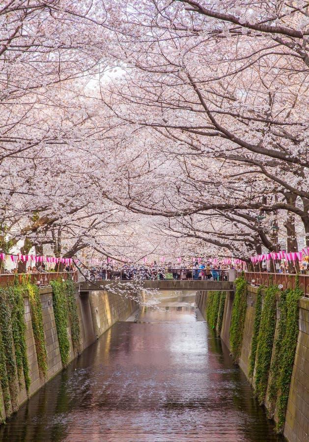 Tokyo sakura tänder den körsbärsröda blomningen med upp arkivfoton