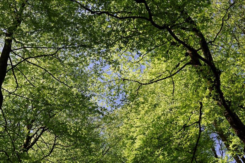 Toldo de árbol de haya en primavera fotografía de archivo