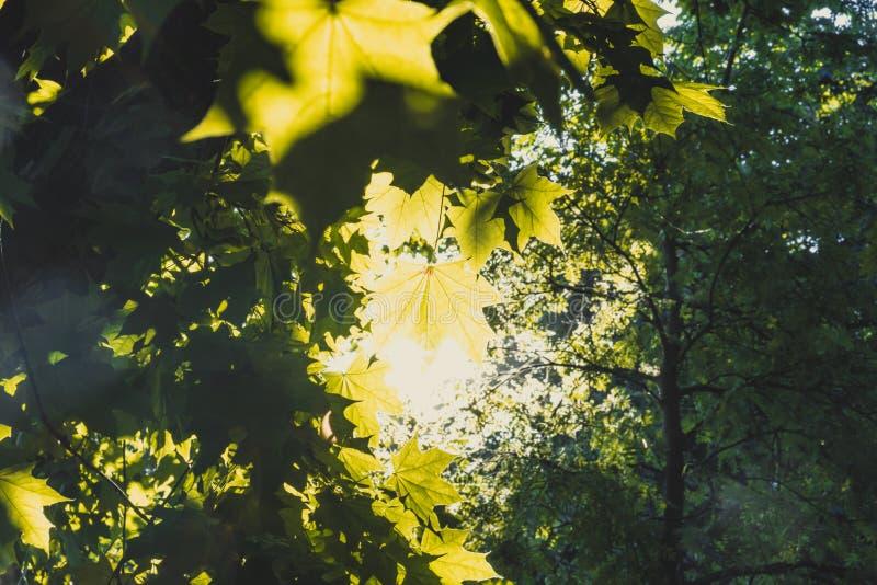 Toldo de árbol de las hojas de arce del throuh de Sun en un bosque imágenes de archivo libres de regalías