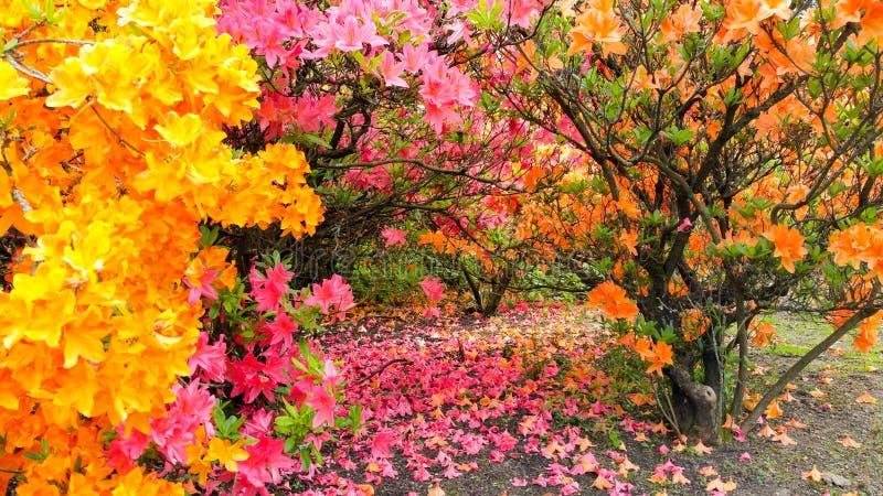Toldo de Rhodadendron, verano con los pétalos caidos foto de archivo