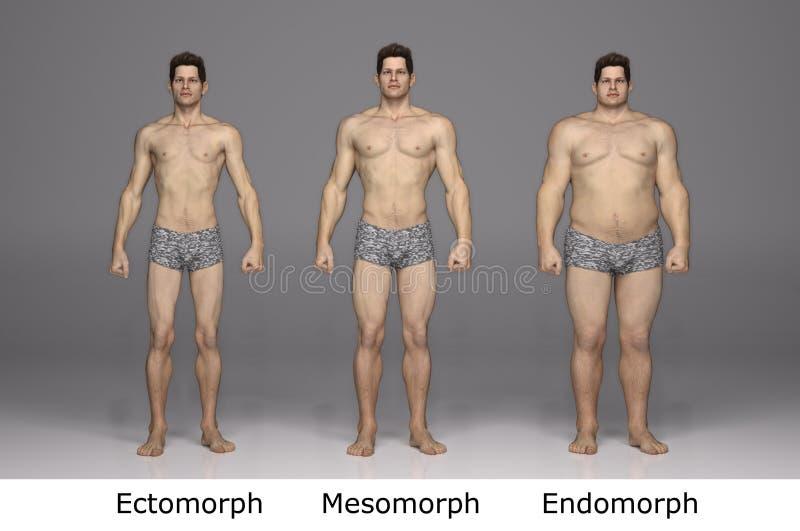 tolkning 3D: typ 3 av den manliga kroppen, främre sikt vektor illustrationer