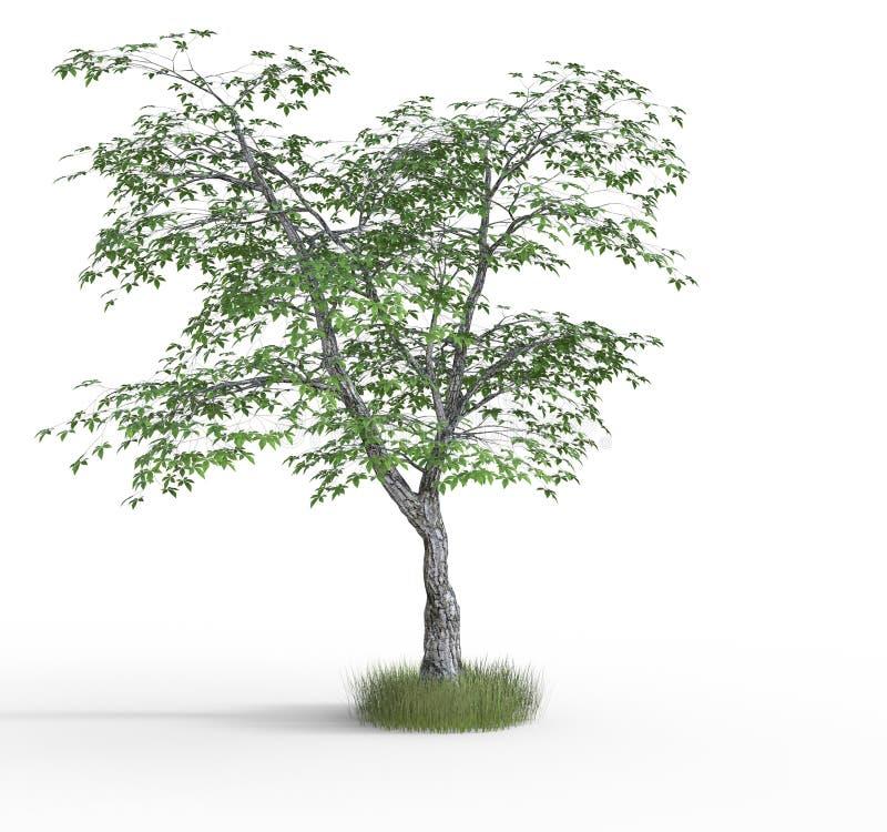 tolkning för 3 D av lönnträdet vektor illustrationer