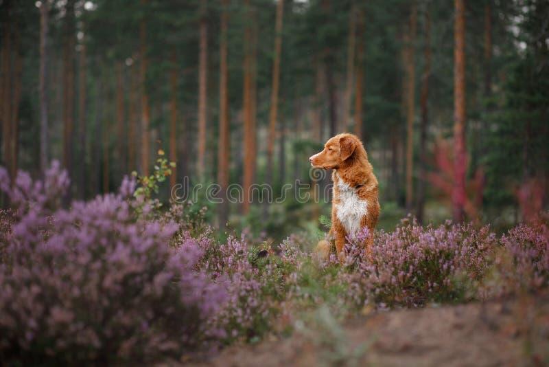 Σκυλί Toller στα χρώματα ερείκης περίπατος με ένα κατοικίδιο ζώο στο δασικό ταξίδι στοκ φωτογραφία με δικαίωμα ελεύθερης χρήσης