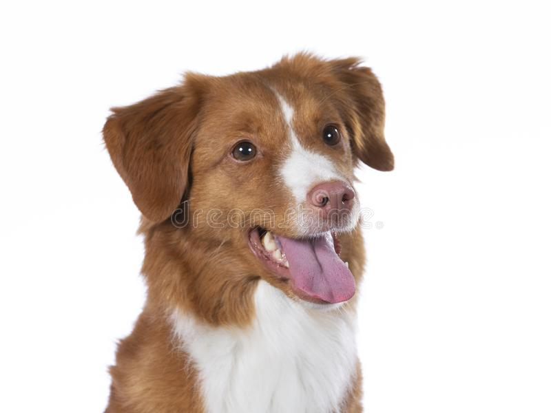 Toller dog portrait in a studio with white background stock photography