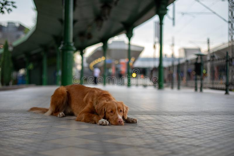 Toller för apportör för Nova Scotia and tolling, hund på drevstationen arkivbild