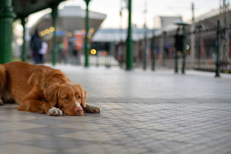 Toller för apportör för Nova Scotia and tolling, hund på drevstationen royaltyfri foto