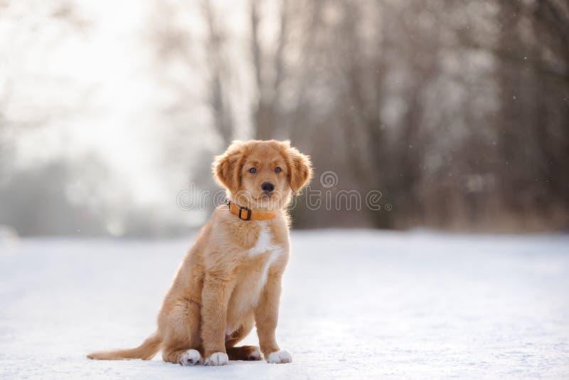 toller puppyzitting in openlucht in de winter royalty-vrije stock fotografie