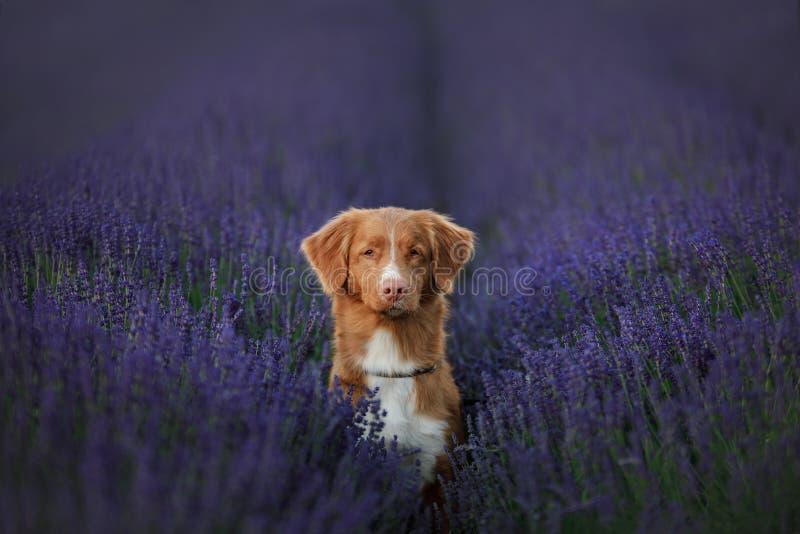 Tolling apportör för hundNova Scotia and på lavendelfält arkivbild