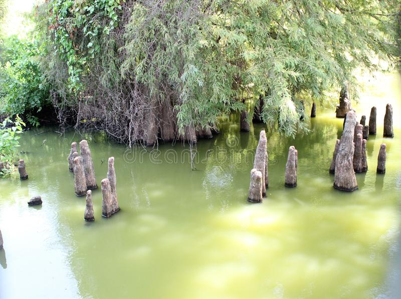 Toltec Mounds - Cypress Knees. Cypress Knees in the Mound Lake, an oxbow lake of the Arkansas River at Toltec Mounds in Scott, Arkansas royalty free stock images