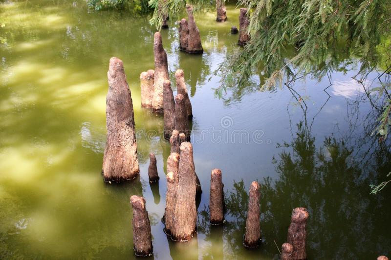 Toltec Mounds - Cypress Knees. Cypress Knees in the Mound Lake, an oxbow lake of the Arkansas River at Toltec Mounds in Scott, Arknasas royalty free stock photo