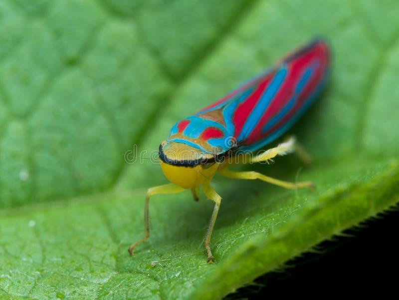Tolva roja y azul brillante de la hoja en la hoja verde imagen de archivo libre de regalías