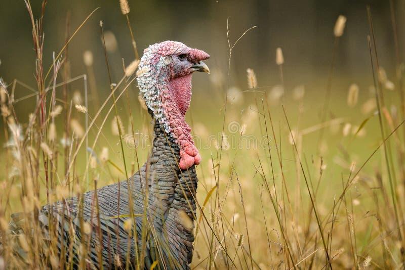 Tom die Türkei stockfotos