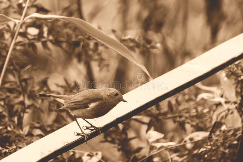 Tom do Sepia de Robin Sitting On The Balustrade do pássaro imagem de stock