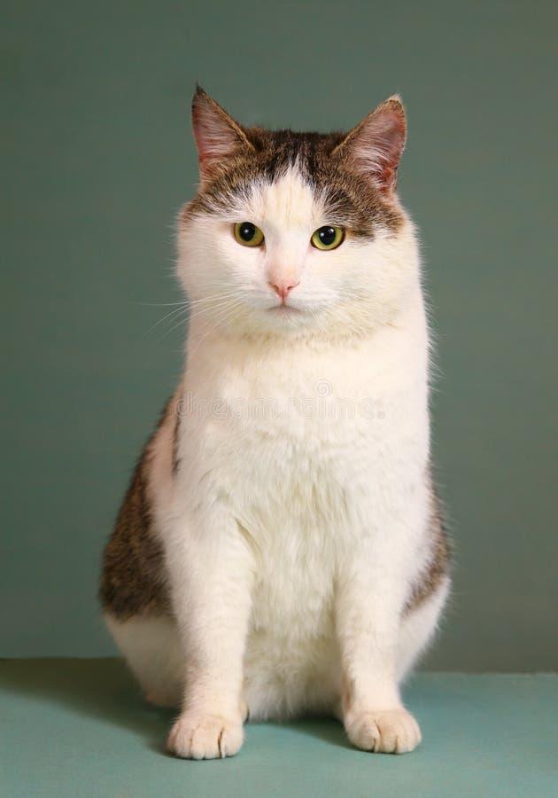 Tom för Siberian avel arrogant katt på tabellen royaltyfria bilder