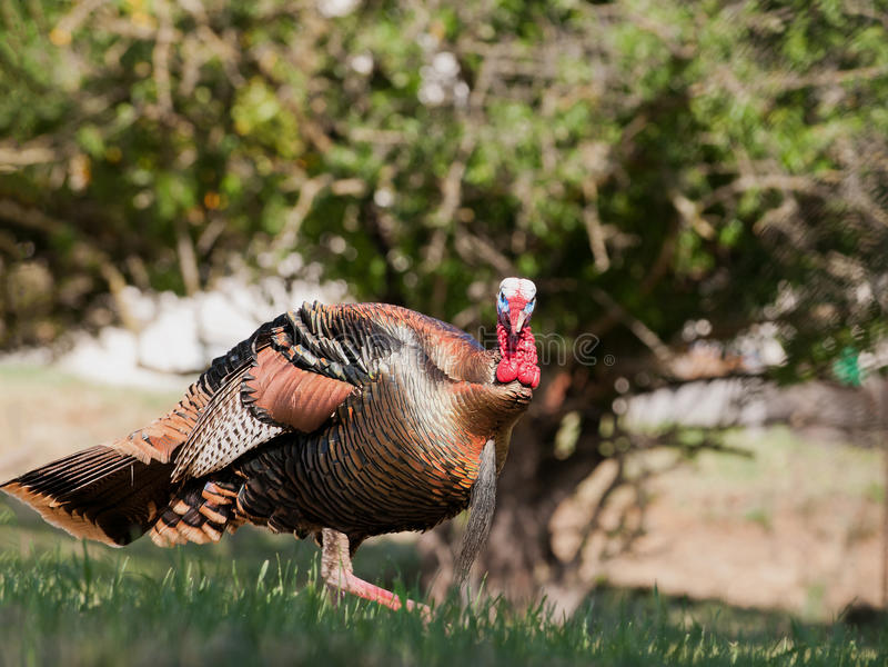 Tom turkey stock images