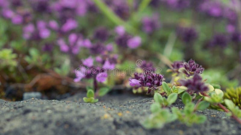 Toma de miniflores púrpuras en un fondo borroso imagenes de archivo
