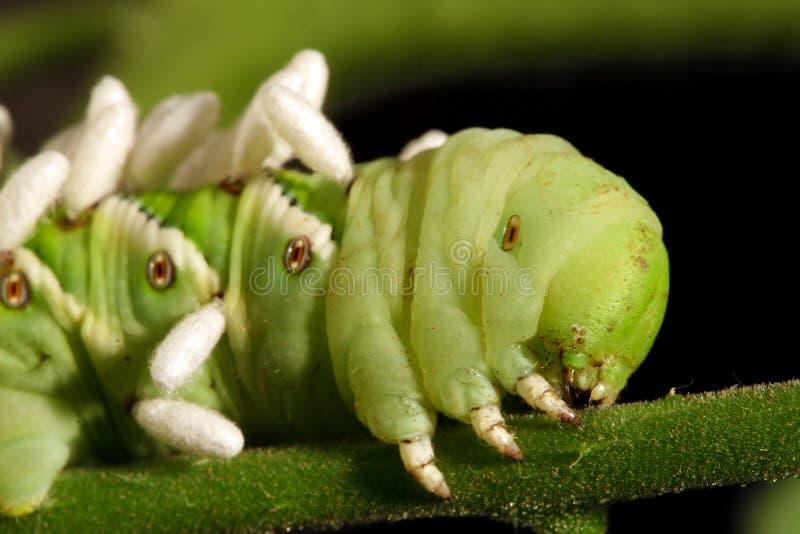 Tomaat Hornworm stock afbeelding