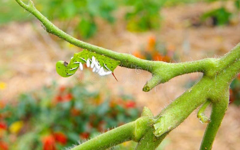 Tomaat/Tabak Hornworm als gastheer aan de parasitische eieren van de braconidwesp stock foto