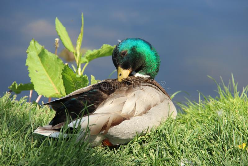 Tomando el sol y descanse una manera fácil del pato silvestre masculino de vida imágenes de archivo libres de regalías