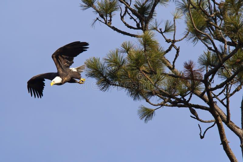 Tomando o voo de uma árvore. imagem de stock