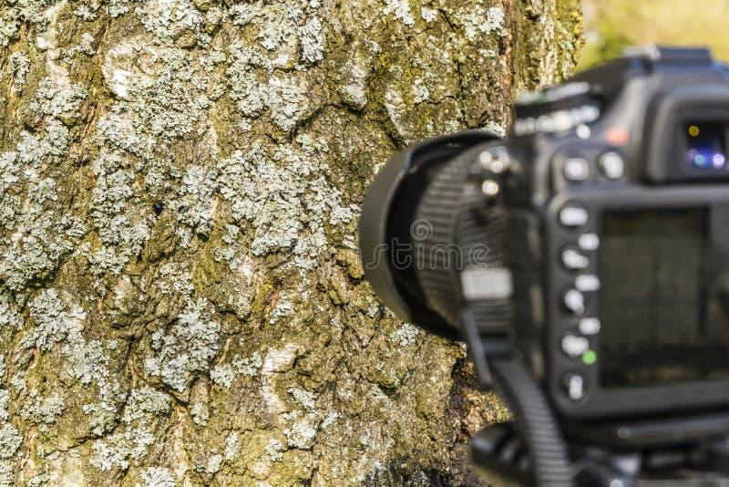 Tomando um líquene da foto em uma árvore imagens de stock