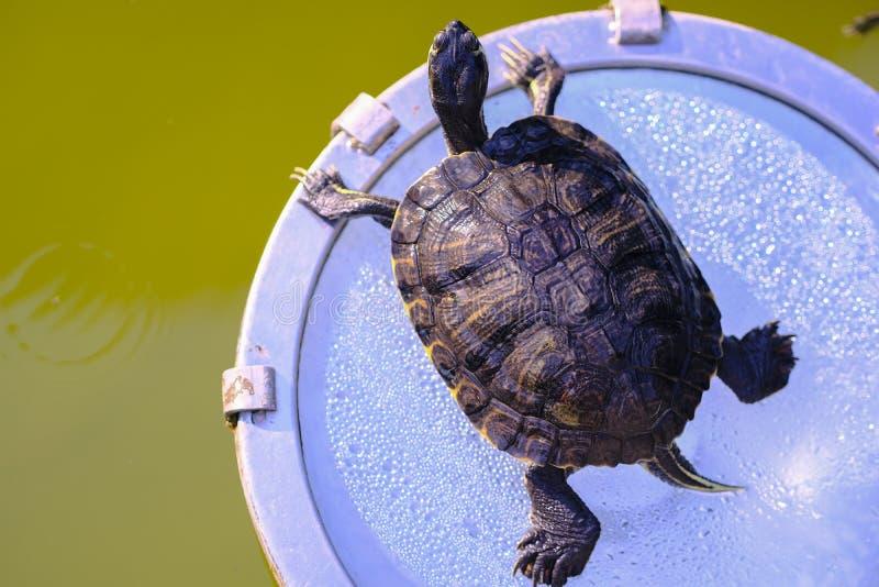 Tomar el sol la tortuga, tiempo del verano, parque imagen de archivo