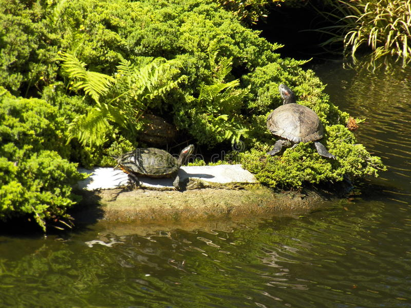 tomar sol de 2 tartarugas fotografia de stock royalty free