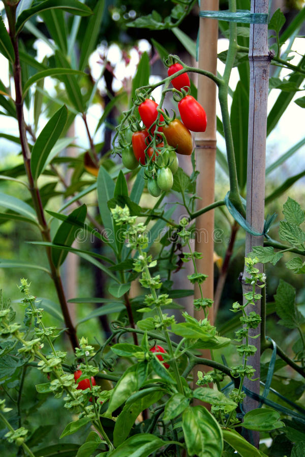 tomat för basilikaCherryväxt royaltyfri foto