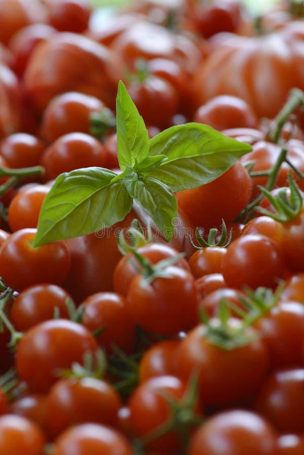 Tomatbakgrund med Basil Leaves 3 arkivfoto