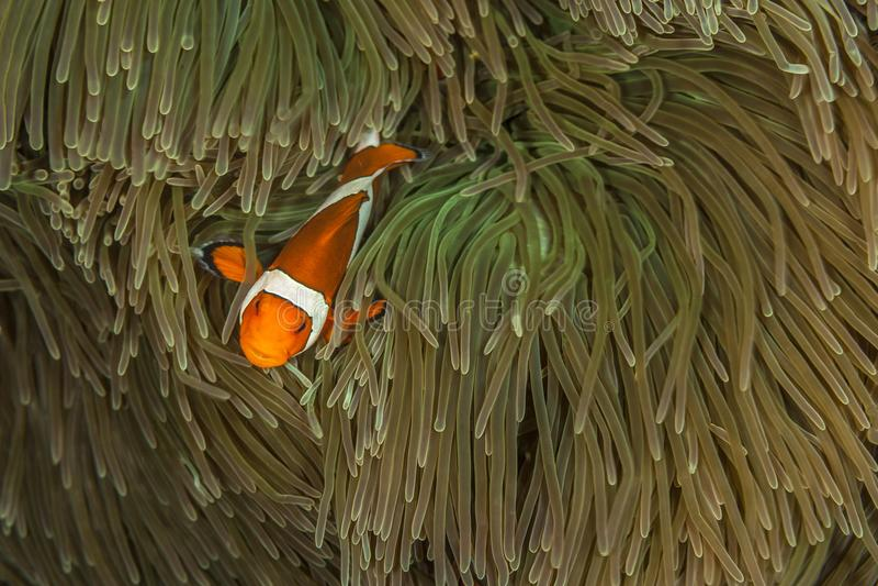 Tomatclownfisk i anenome royaltyfria bilder