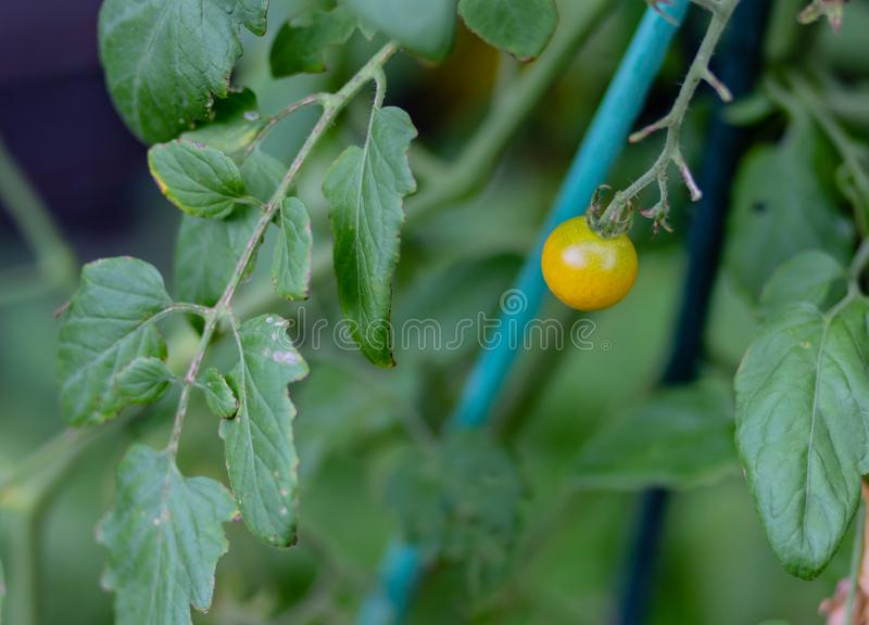 Tomate-cerise jaune simple sur la vigne photo stock