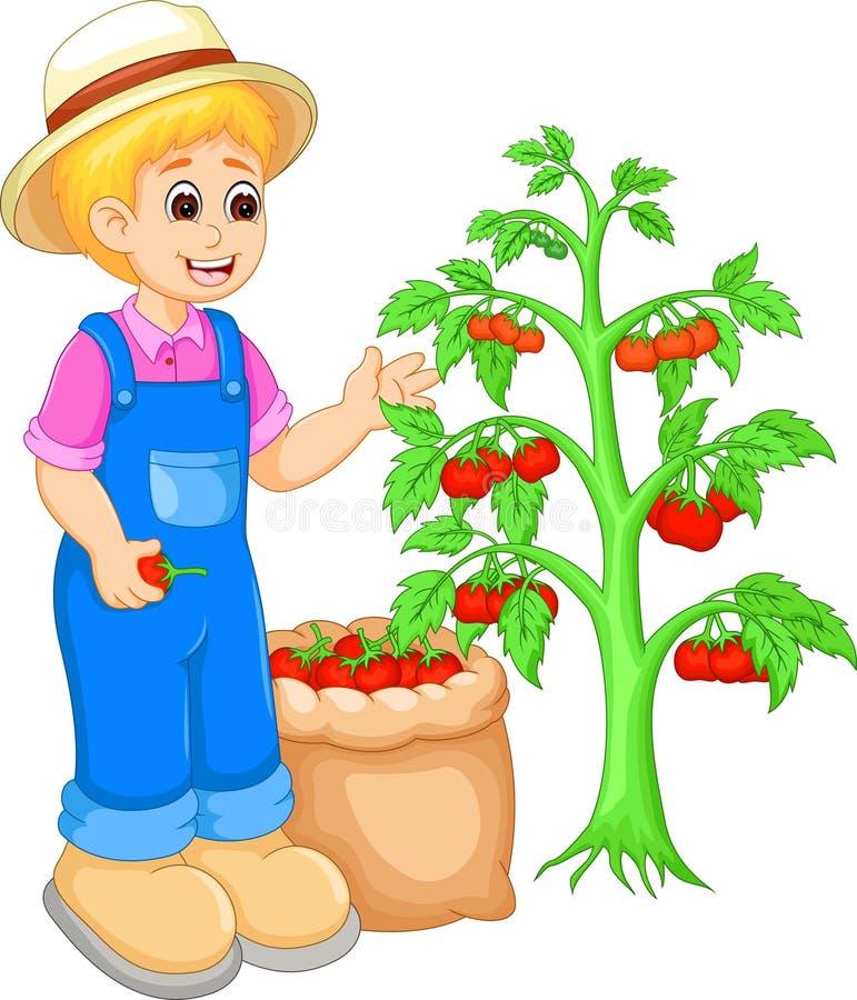 Tomate considerável da colheita dos desenhos animados do homem no jardim