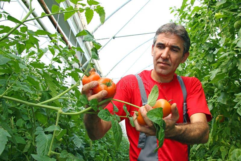Tomate da colheita do fazendeiro fotografia de stock