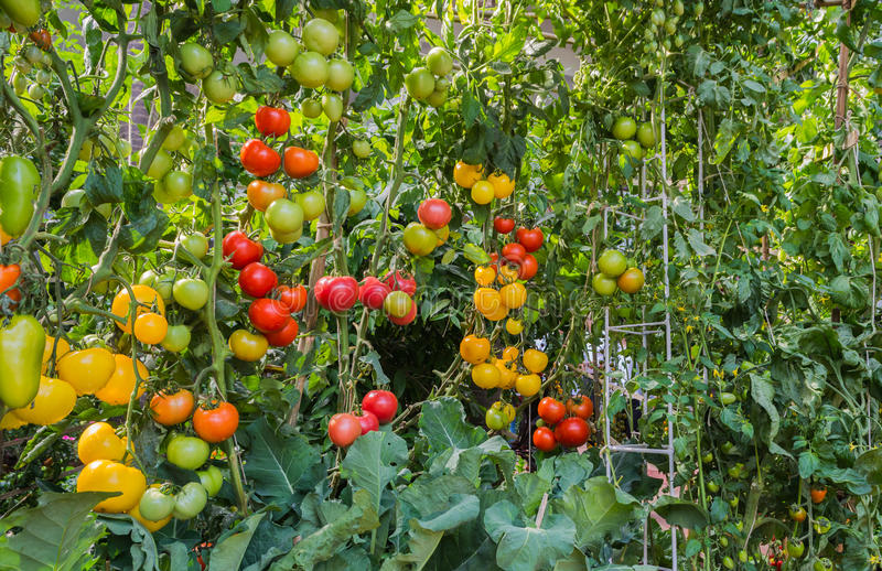 Download Tomate dans le jardin photo stock. Image du greenhouse - 76089812