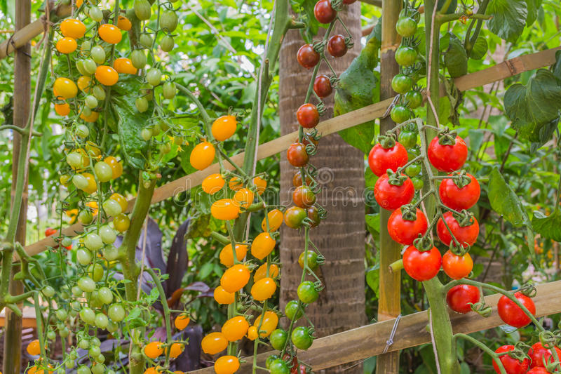 Download Tomate dans le jardin photo stock. Image du zone, vert - 76090214
