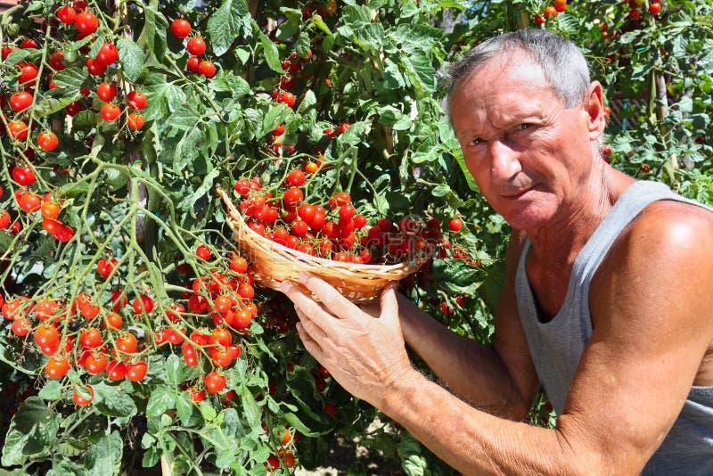 Tomate de cereza de la cosecha del hombre fotografía de archivo libre de regalías