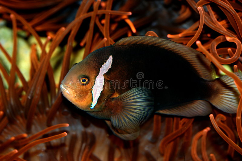 tomate de clownfish photo stock
