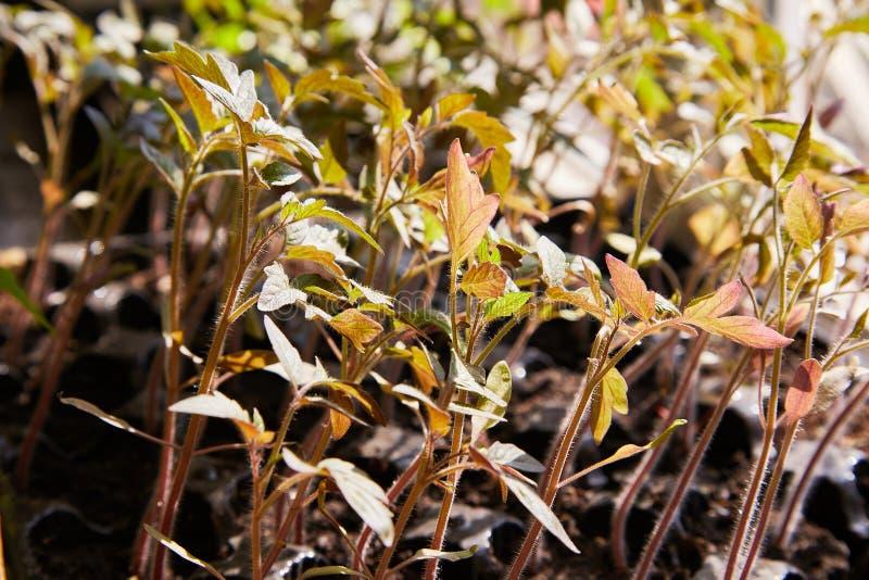 Tomate de jeune plante dans le plateau pour la pousse photo libre de droits